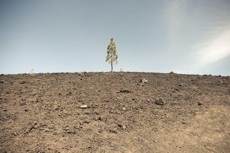 Baum auf Vulkangestein auf Teneriffa