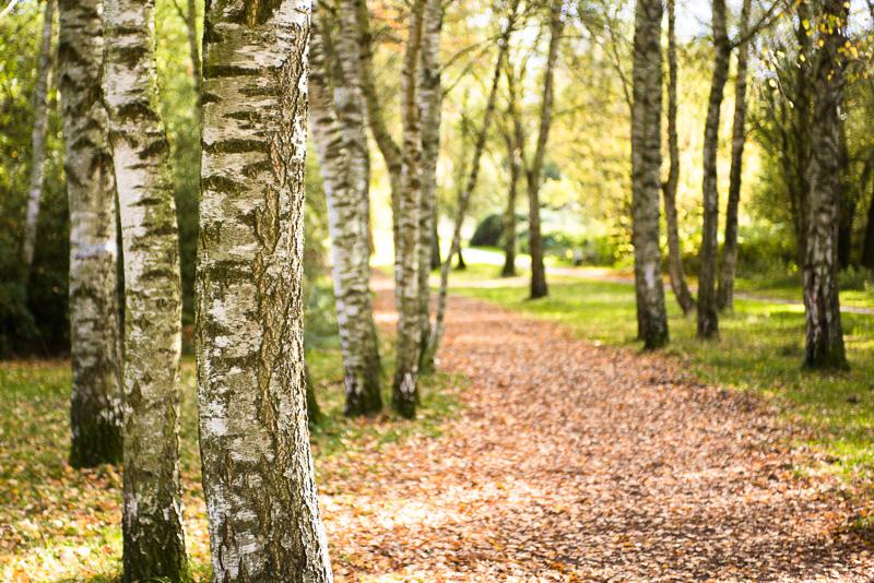 Herbstfoto von einem Birkenwald
