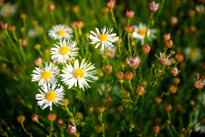 Margeriten, Frühling