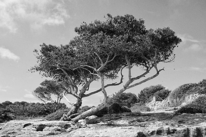 Mallorca, Baum