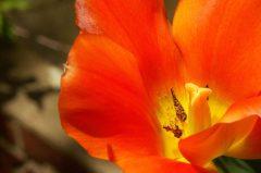 In unserem Garten…., Tulpen