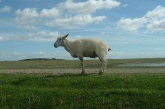 Schaf auf'm Deich