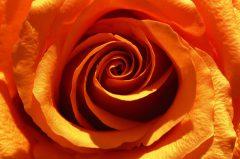 red rose, Rote Rose