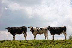Drei lustige Kühe auf'm Deich in Ostfriesland, Landwirtschaft