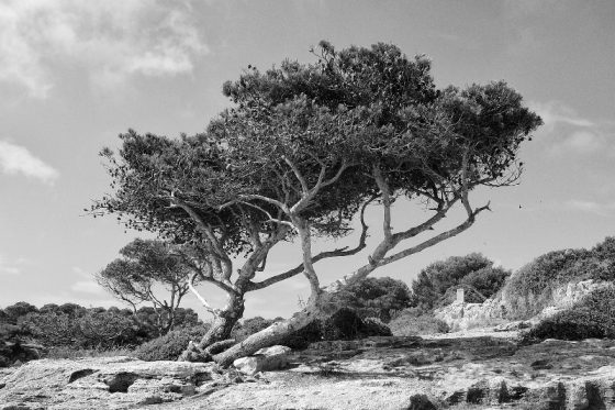 Mallorca, Baum, Felsen