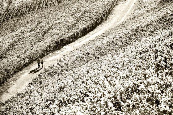 In den Weinbergen, Ahr Dernau