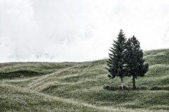 zwei Tannen in Südtirol