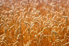 Weizenfeld im Sommer kurz vor der Ernte