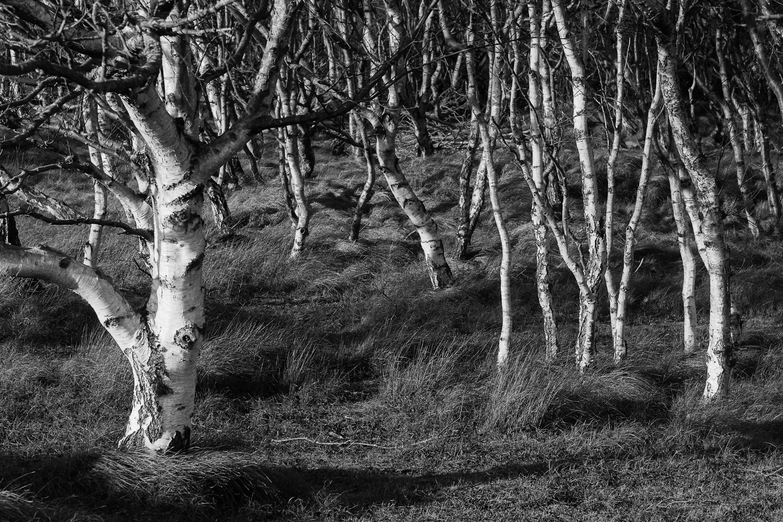 ein paar Birken in den Dünen auf Norderney
