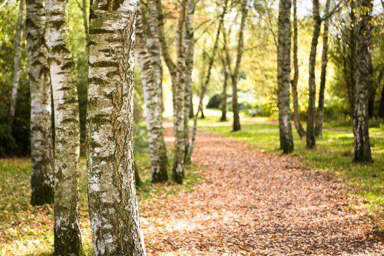 Birkenwald im Herbst in Münster