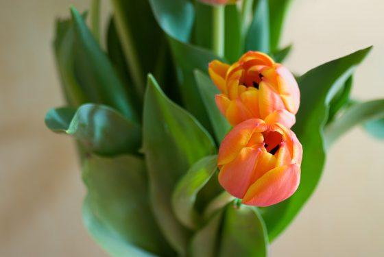 Frühlingsgrüße, Tulpen