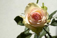 gelbe Rose, Mitbringsel aus der Stadt